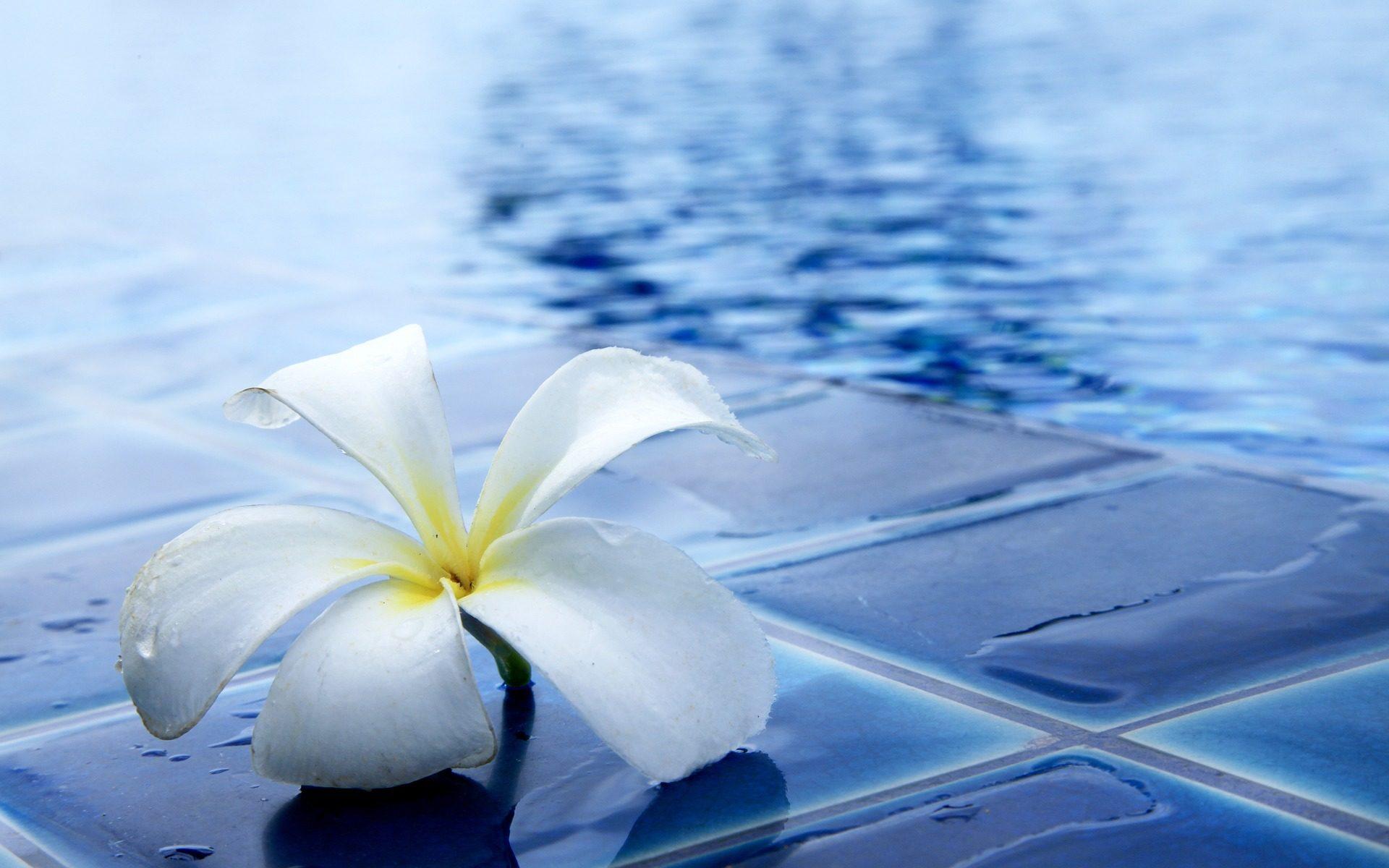 das Bild zeigt kristallklares Wasser in einem Schwimmbecken und eine Blüte eines Tempelbaumes
